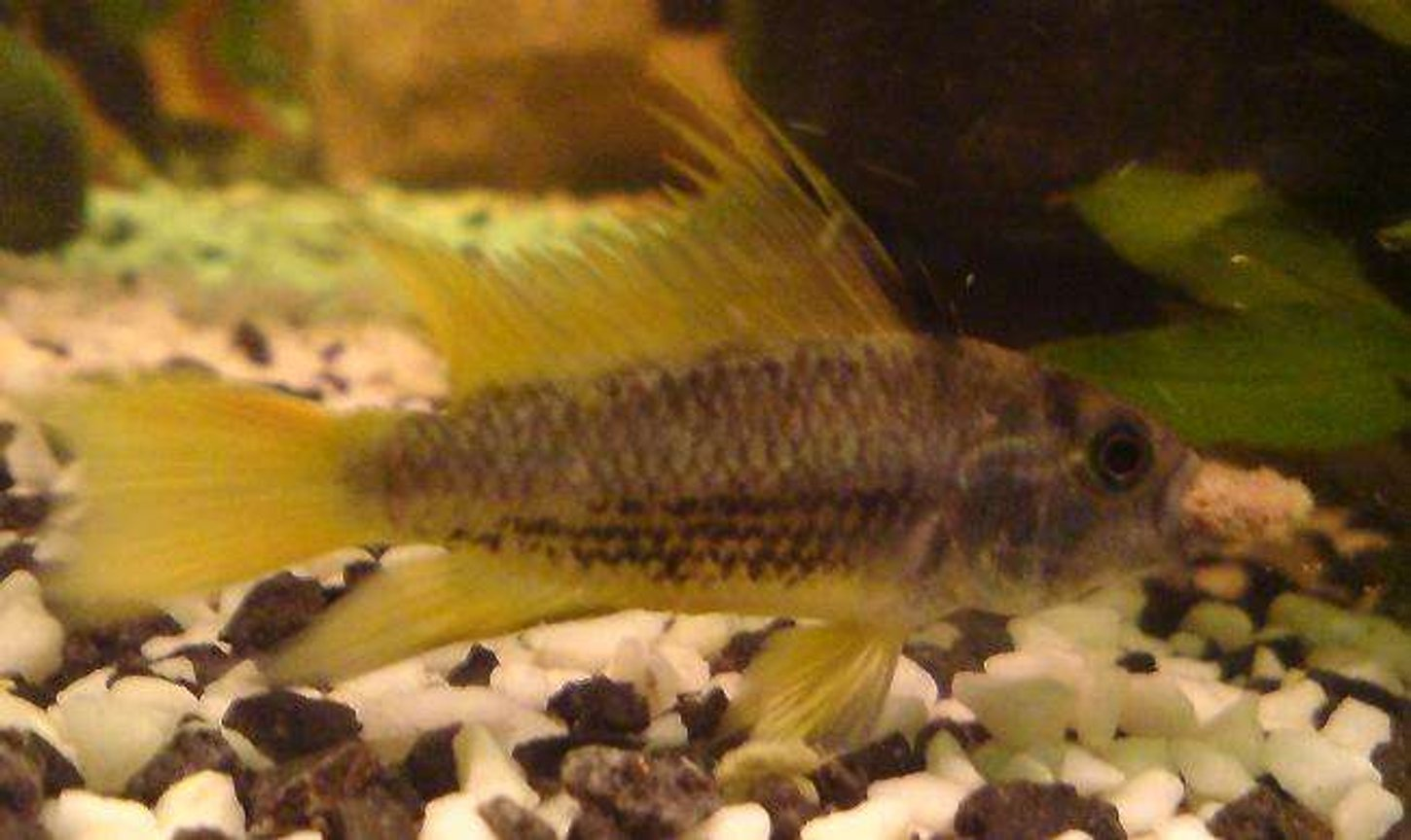 freshwater fish - apistogramma sp. - assorted apistogramma stocking in 15 gallons tank - food time!