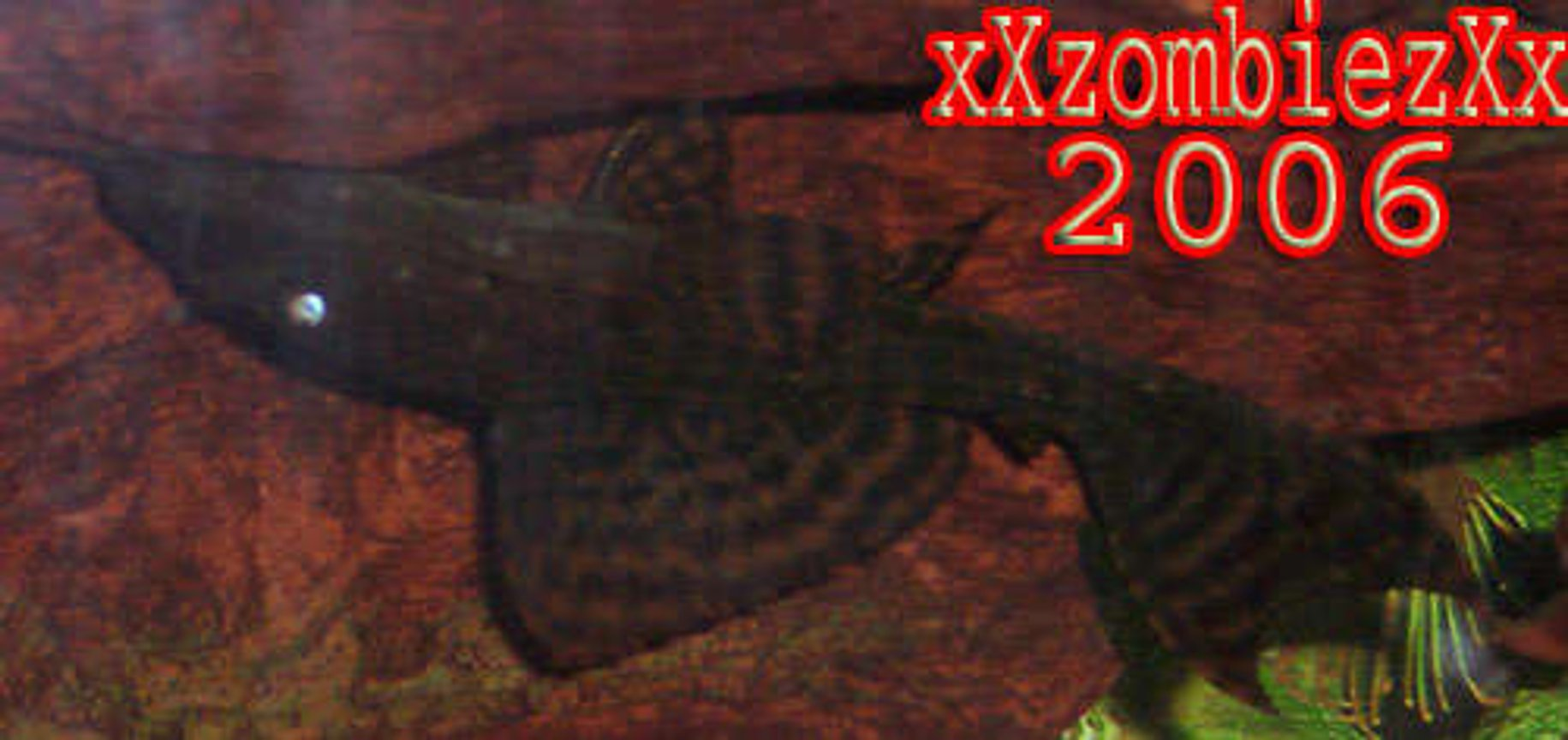 freshwater fish - hypostomus punctatus - common pleco stocking in 55 gallons tank - pleco