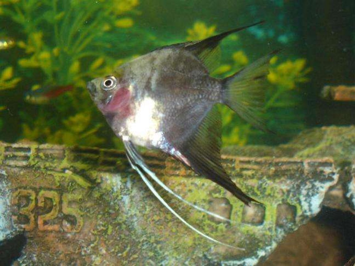 freshwater fish - pterophyllum scalare - assorted veil angel stocking in 110 gallons tank - ole red bake...lol