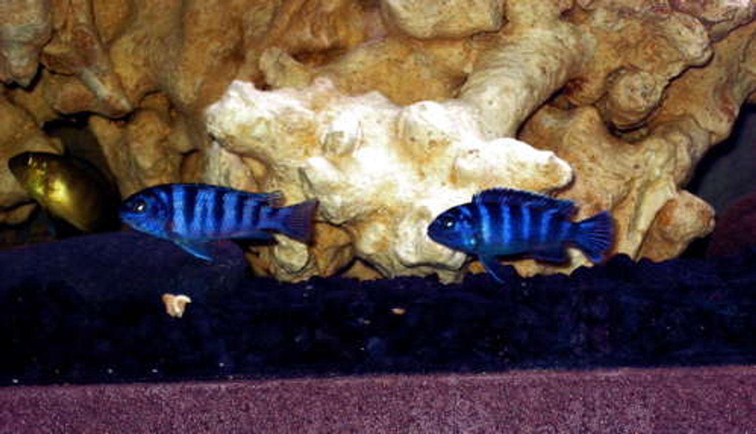 freshwater fish - pseudotropheus demasoni - demasoni cichlid stocking in 32767 gallons tank - Deep Blue