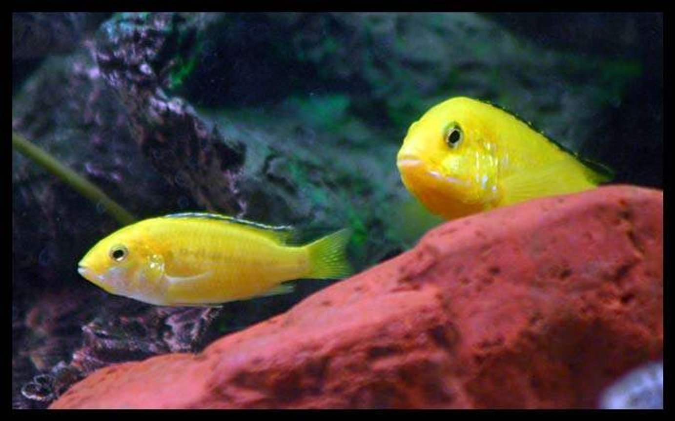 freshwater fish - labidochromis caeruleus - electric yellow cichlid stocking in 40 gallons tank - electric yellows