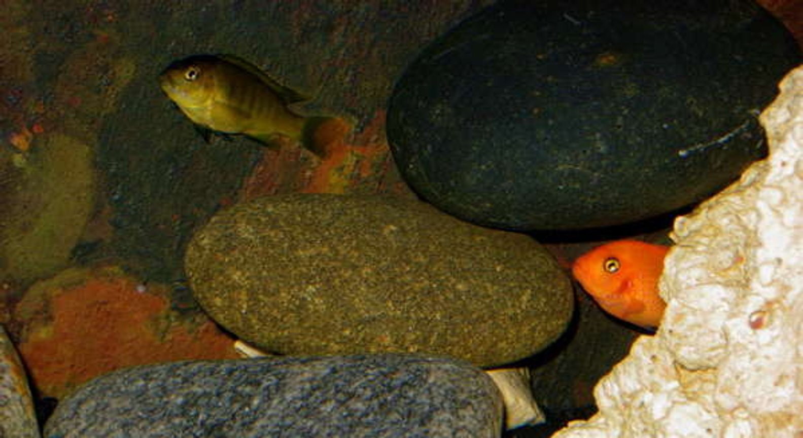 freshwater fish - pseudotropheus estherae - red zebra cichlid stocking in 32767 gallons tank - Mbuna Cichlid Aquarium