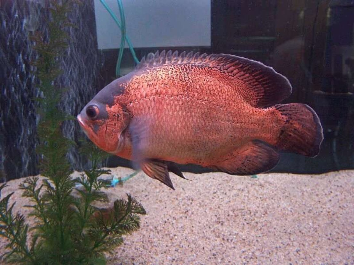 freshwater fish - astronotus ocellatus - red oscar stocking in 33 gallons tank - large oscars