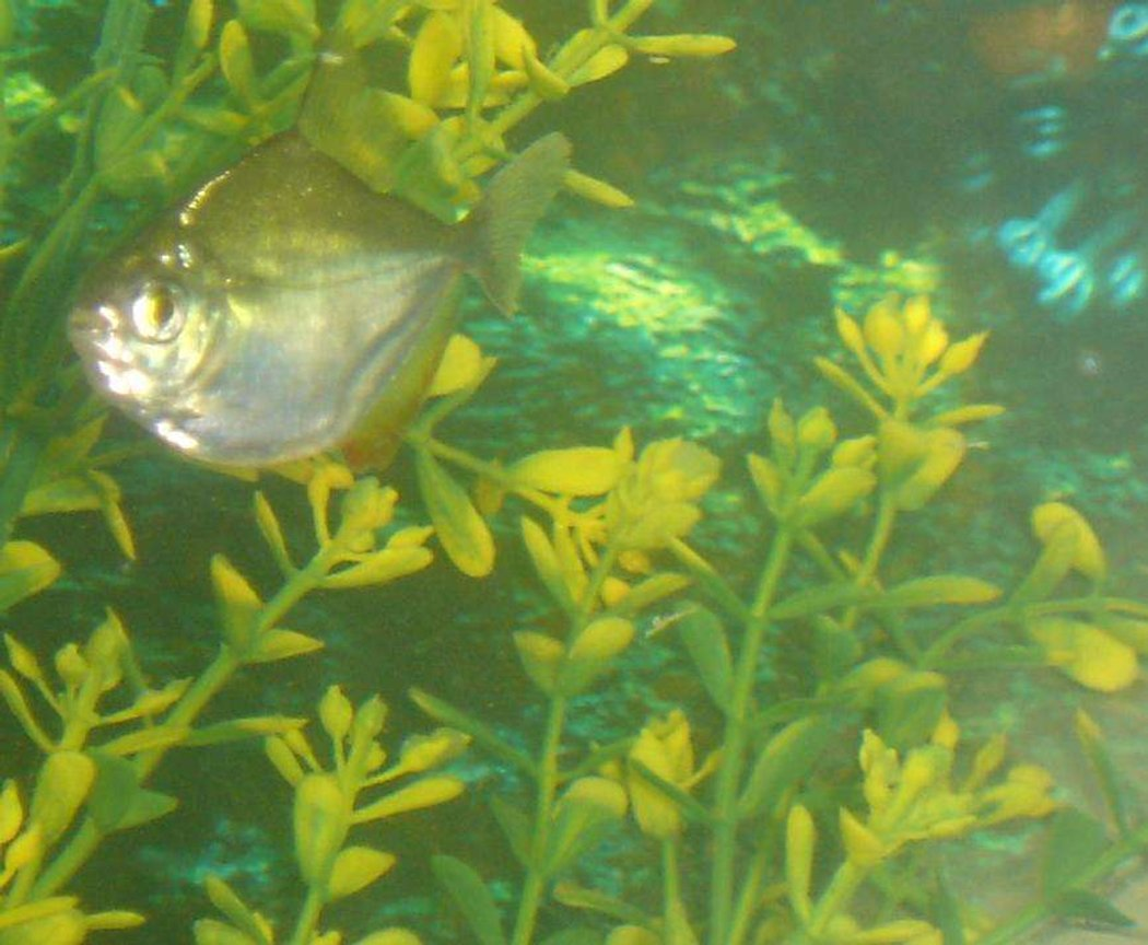 freshwater fish - metynnis argenteus - silver dollar stocking in 110 gallons tank - my silver dollar