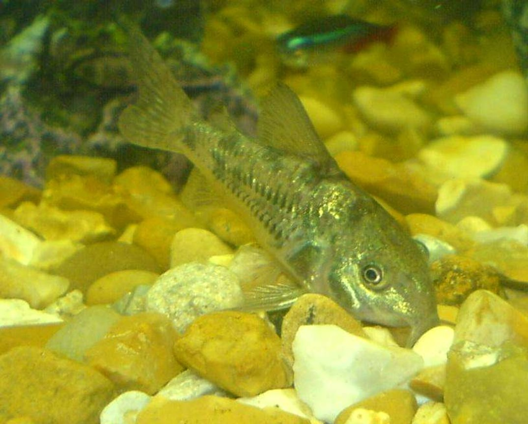 freshwater fish - corydoras paleatus - peppered cory cat stocking in 110 gallons tank - the cat