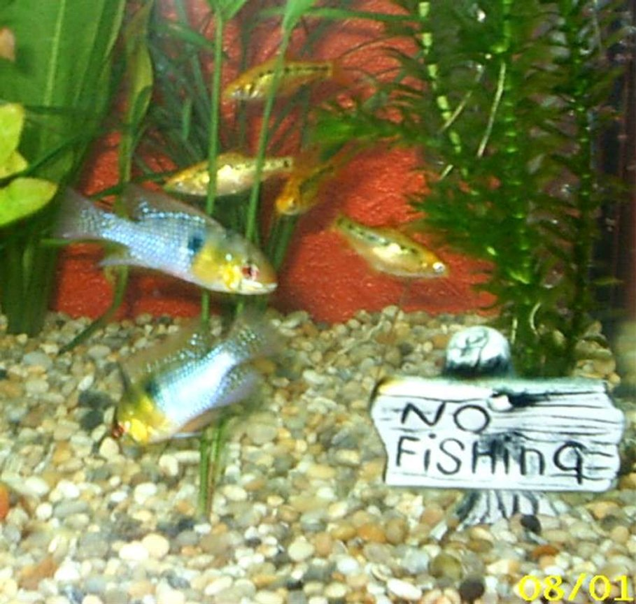 freshwater fish - papiliochromis ramirezi - german blue ram stocking in 10 gallons tank - my two blue rams and golden barbs