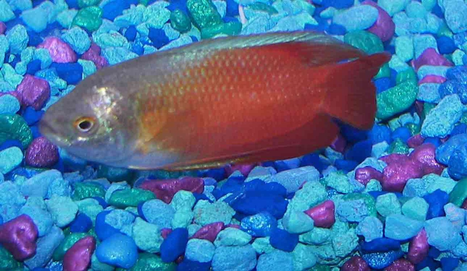 freshwater fish - colisa lalia - flame dwarf gourami stocking in 55 gallons tank - fire and ice gourami