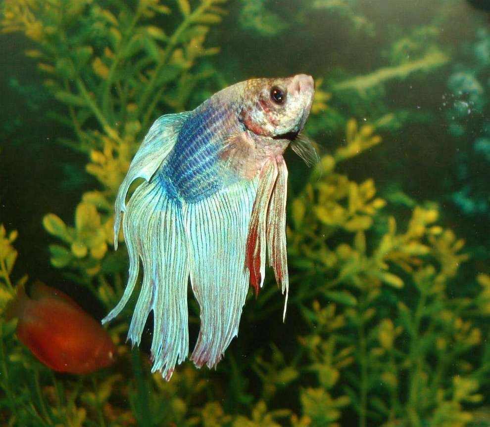 freshwater fish - betta splendens - betta - male stocking in 110 gallons tank - the siemese