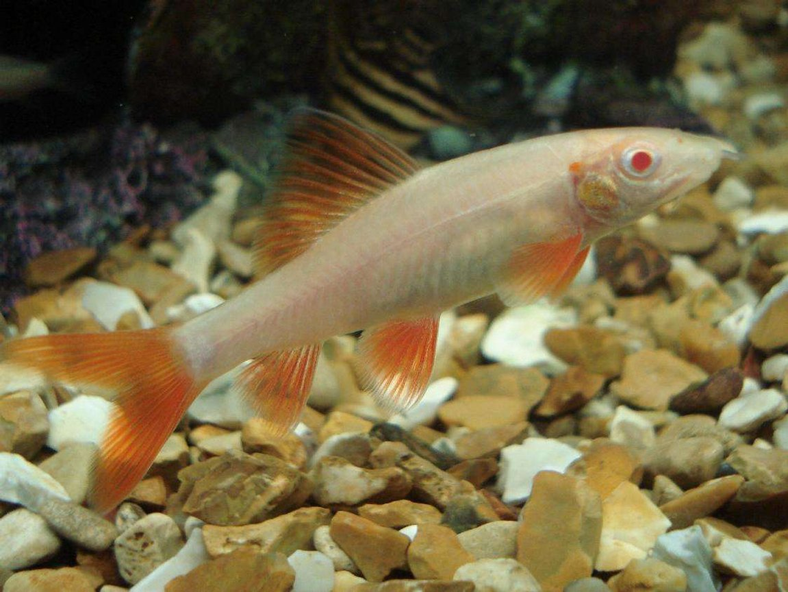 freshwater fish - epalzeorhynchos frenatus - albino rainbow shark stocking in 110 gallons tank - the albino shark..