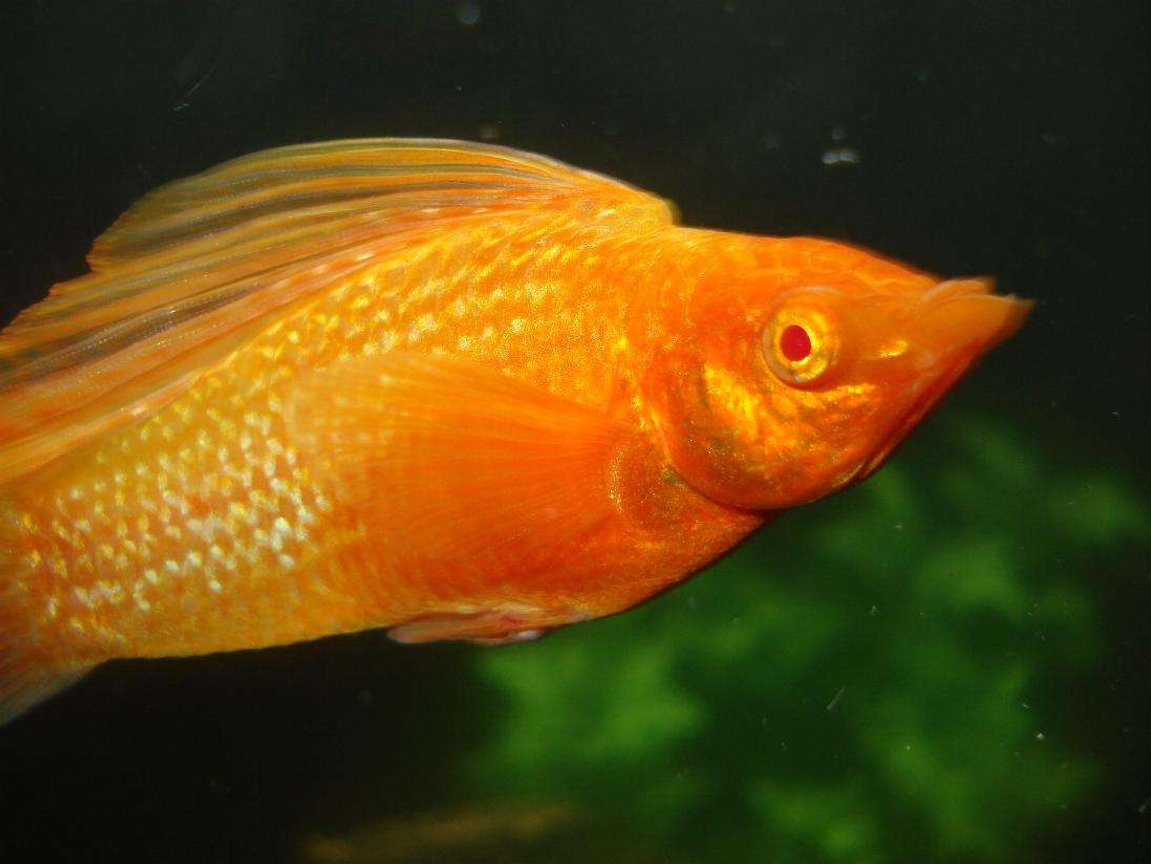 freshwater fish - poecilia latipinna - golden sailfin molly stocking in 24 gallons tank - The big ol Sailfin, Goldmember