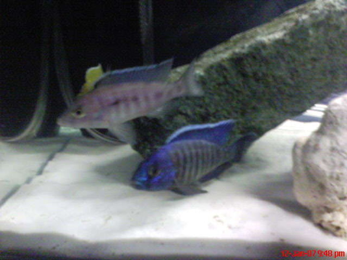 freshwater fish - aulonocara stuartgranti - peacock cichlid stocking in 60 gallons tank - 2 blue cichlids