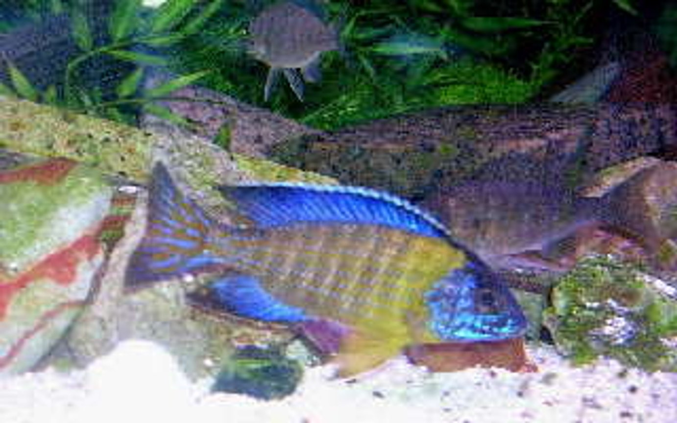 freshwater fish - aulonocara stuartgranti - peacock cichlid stocking in 95 gallons tank - Wild caught Aulonocara stuartgranti (blue neon Undu Reef) The male named Hanigan is now a proud father