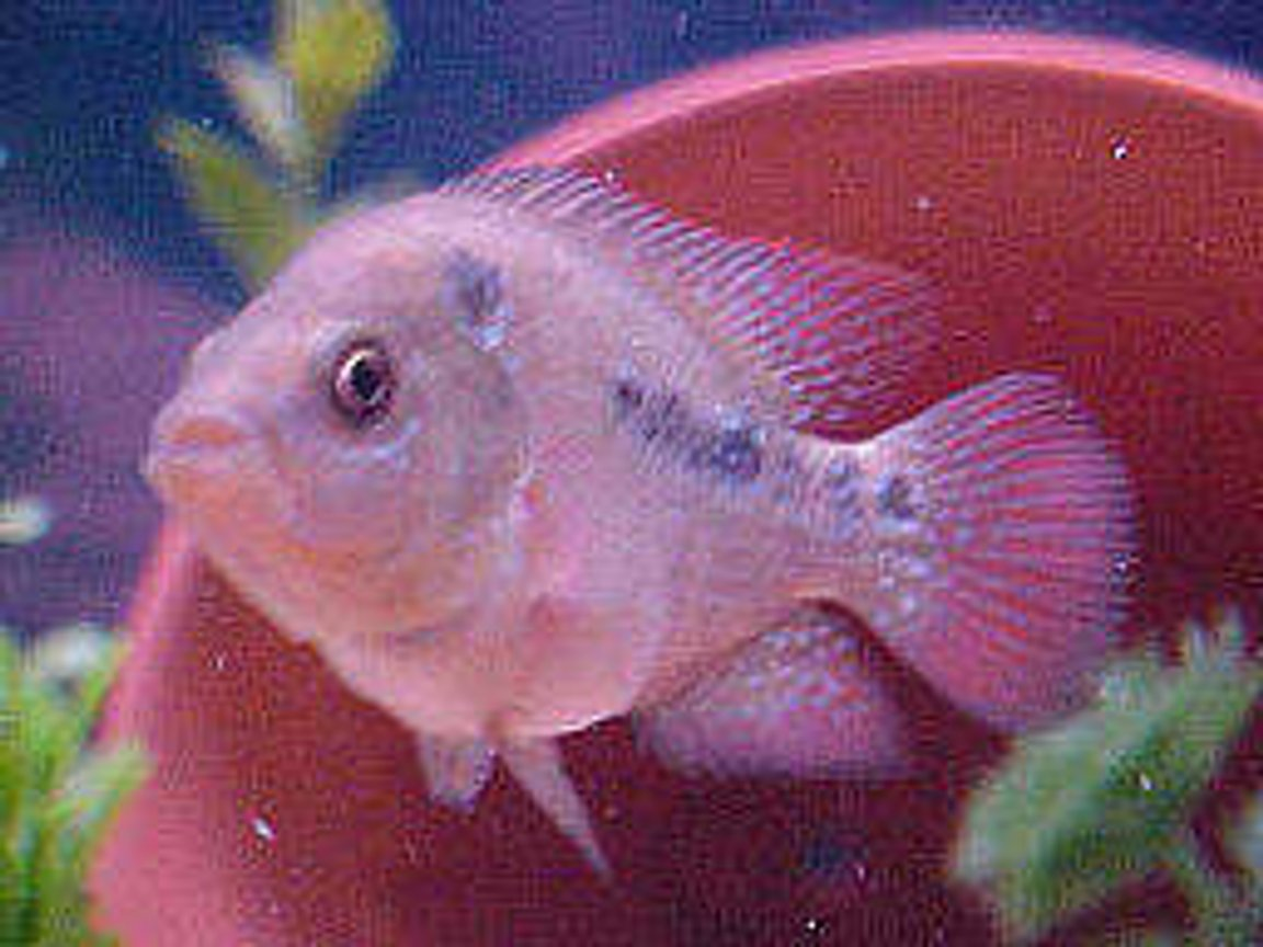 freshwater fish - cichlasoma sp. - flower horn cichlid stocking in 46 gallons tank - 2 inch flowerhorn..just starting to color up