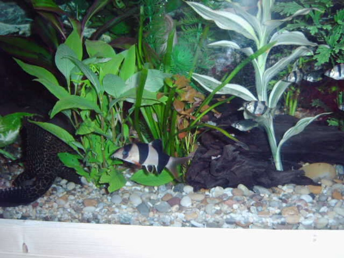 freshwater fish - botia macracantha - clown loach stocking in 75 gallons tank - my clown loach a few of my tiger barbs and the back end of my plec.
