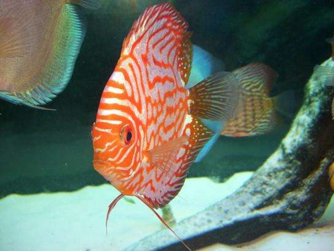 freshwater fish - symphysodon spp. - pigeon blood discus stocking in 55 gallons tank - discus