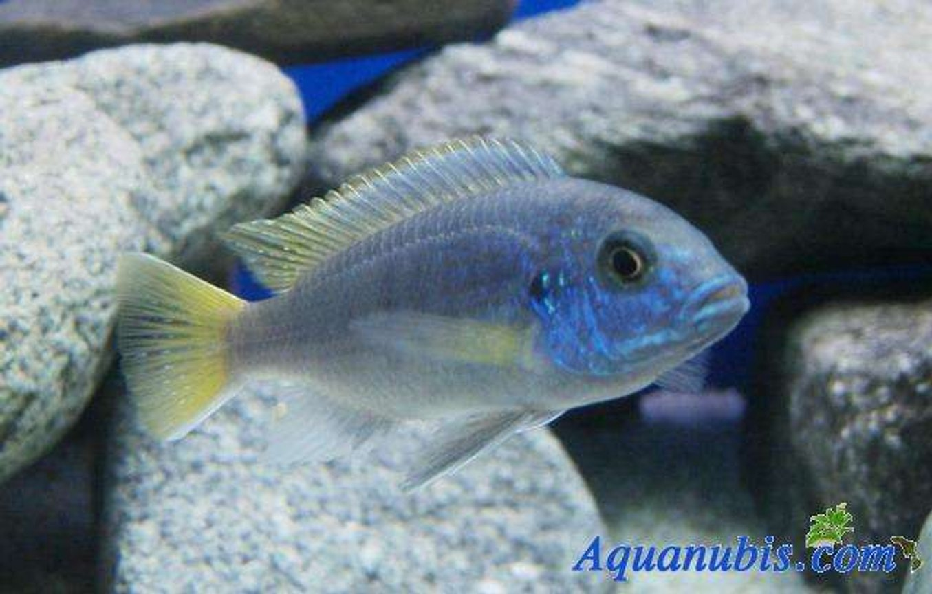 freshwater fish - pseudotropheus acei - acei cichlid stocking in 42 gallons tank - My proud...
