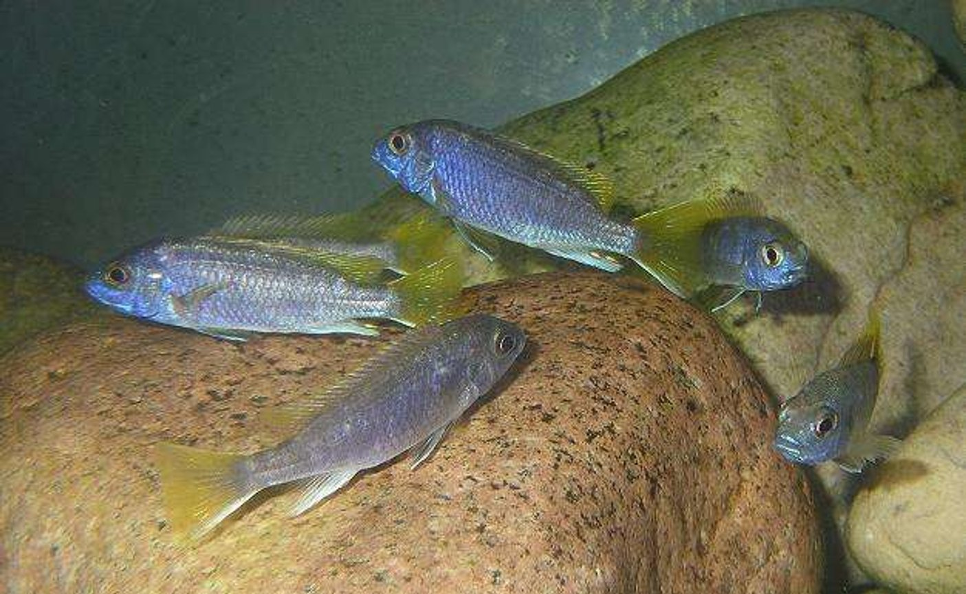 freshwater fish - pseudotropheus acei - acei cichlid stocking in 100 gallons tank - Group of Juvenile P.Acei