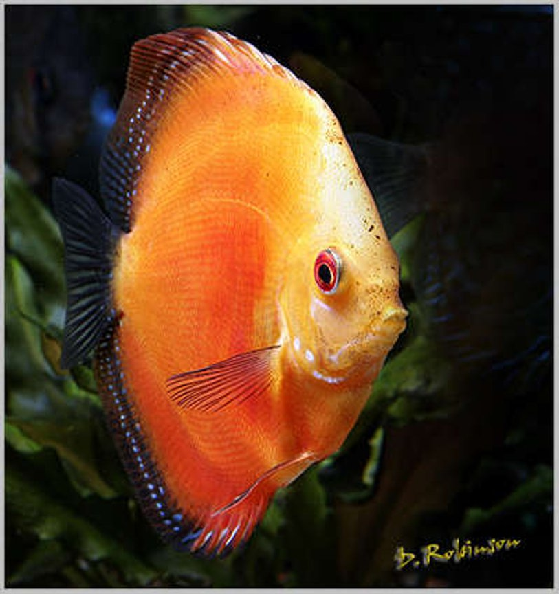 freshwater fish - symphysodon sp. - red marlboro discus stocking in 180 gallons tank - Juvenile Tangerine Dream Discus