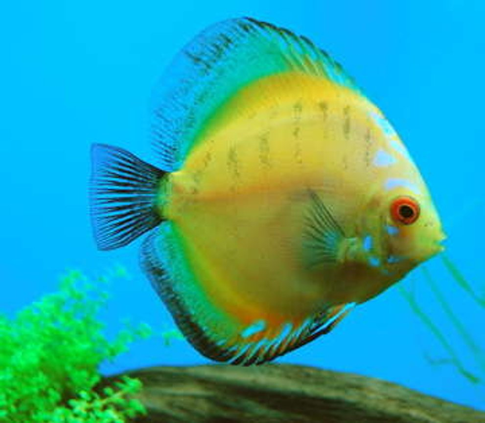 freshwater fish - symphysodon sp. - yellow marlboro discus stocking in 55 gallons tank - Banana Bus is a Morning Glory discus.