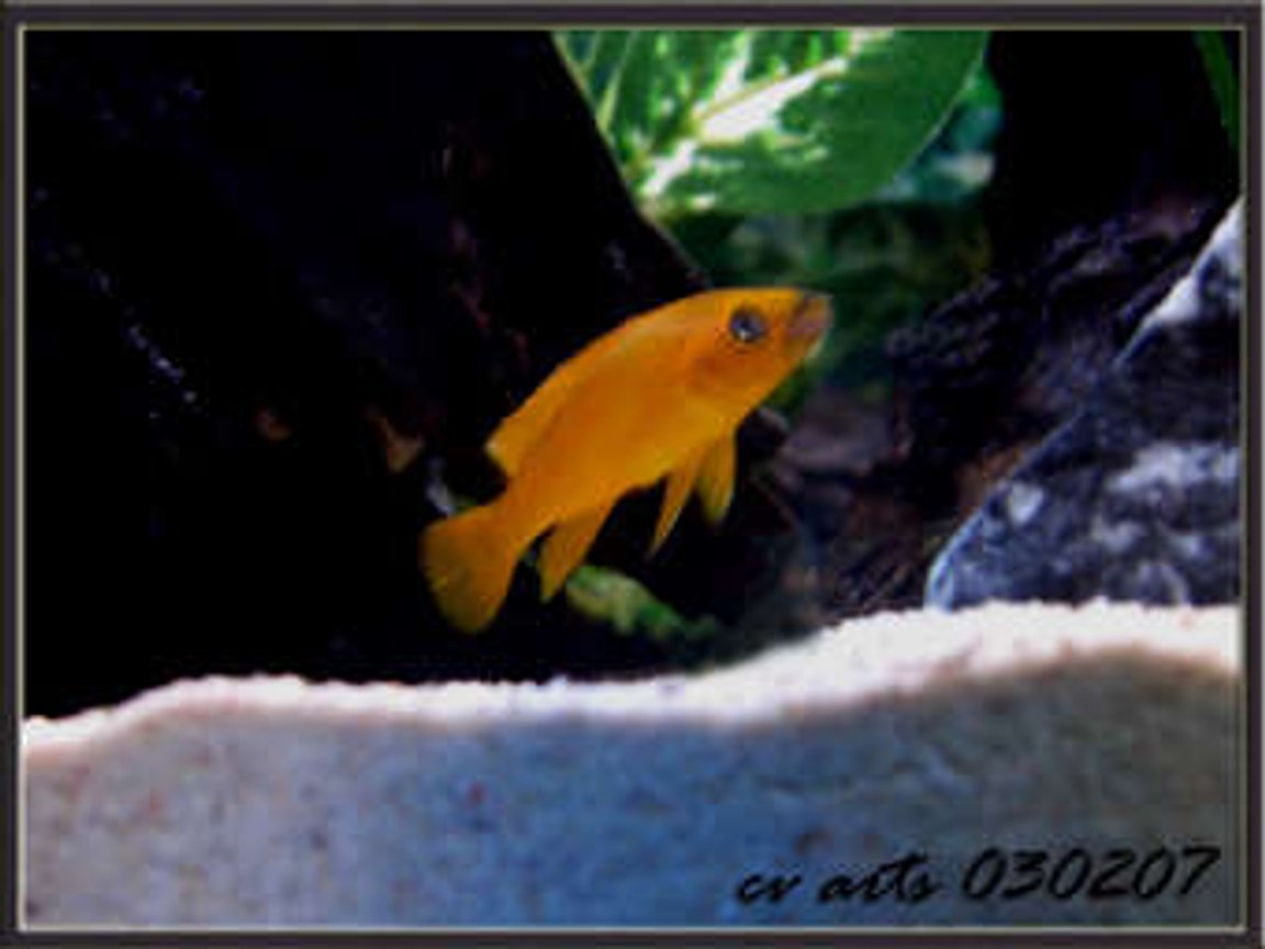 freshwater fish - neolamprologus leleupi - orange leleupi cichlid stocking in 30 gallons tank - my yellow leleupi!
