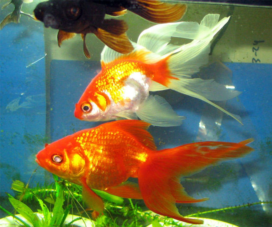 freshwater fish - carassius auratus - ryukin goldfish stocking in 26 gallons tank - At last i got them in one line.
