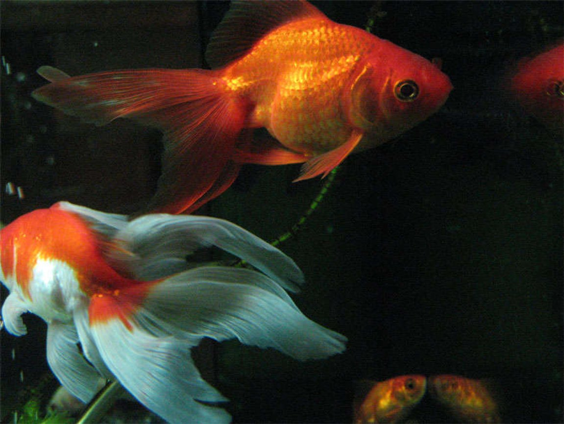 freshwater fish - carassius auratus - fantail goldfish stocking in 26 gallons tank - Fantail and veil tail