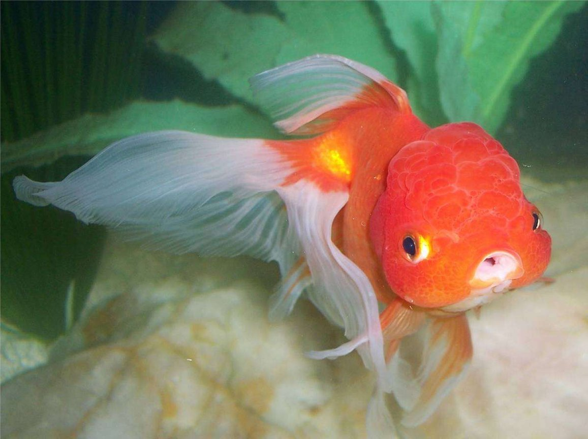 freshwater fish - carassius auratus - oranda goldfish stocking in 72 gallons tank - Goldfish, Red Oranda