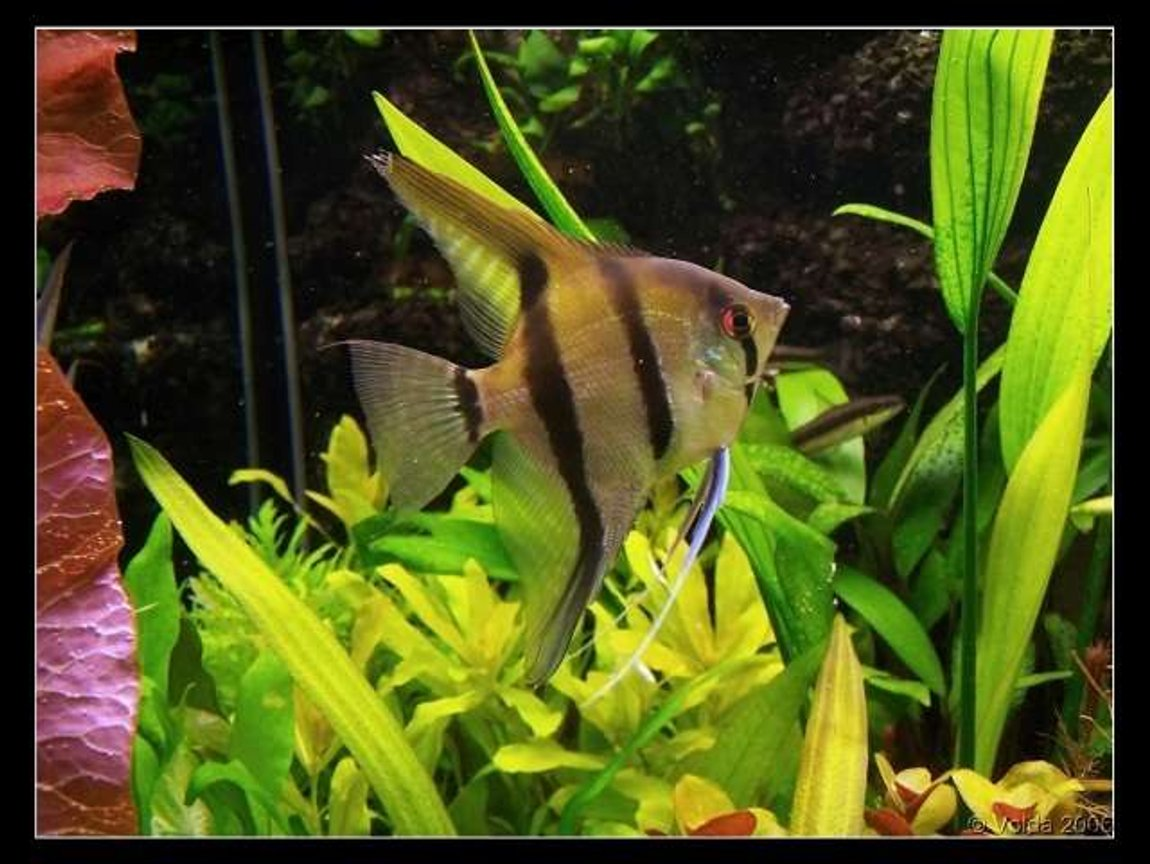 freshwater fish - pterophyllum sp. - silver zebra angel stocking in 103 gallons tank - Pterophyllum skalare