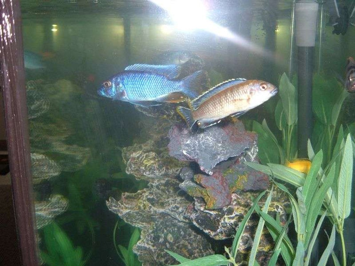freshwater fish - sciaenochromis ahli - electric blue cichlid stocking in 55 gallons tank - African Cichlid