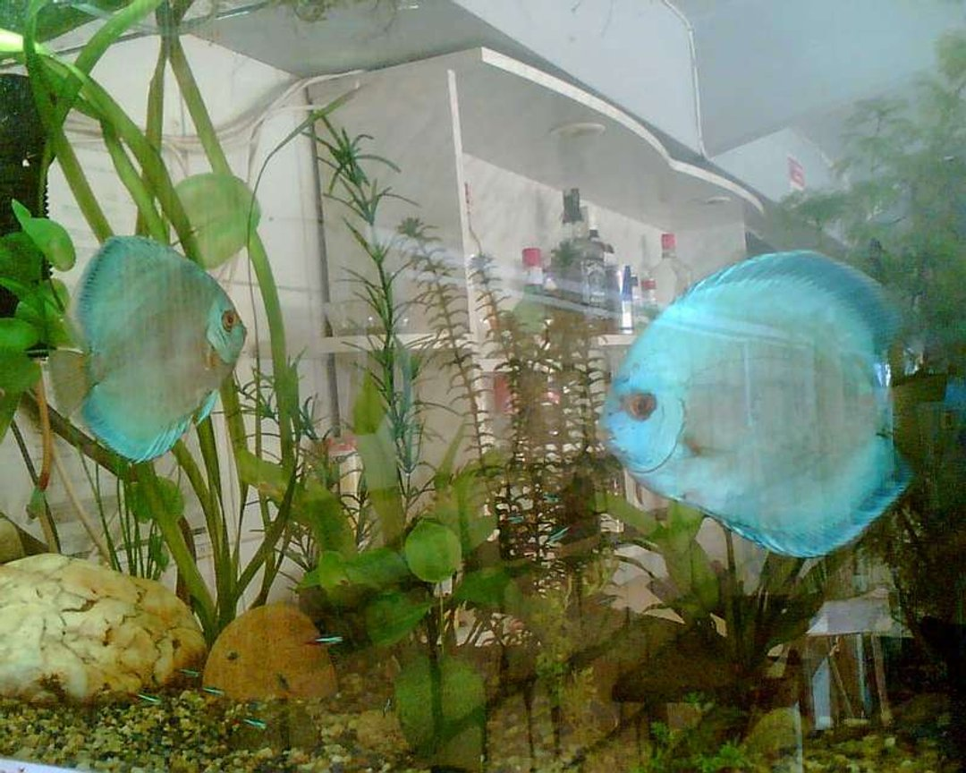 freshwater fish - symphysodon sp. - blue diamond discus stocking in 120 gallons tank - Blue Daimond Pair
