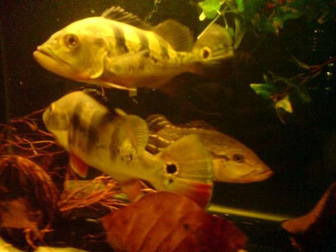freshwater fish - cichlia ocellaris - peacock bass (ocellaris) stocking in 67 gallons tank - Peacock Bass Cichlids Pavons Tucunare These are pure game fish specimens. They are a real handful of a fishing catch and a bite of sheer kick and game on fish on a lure!