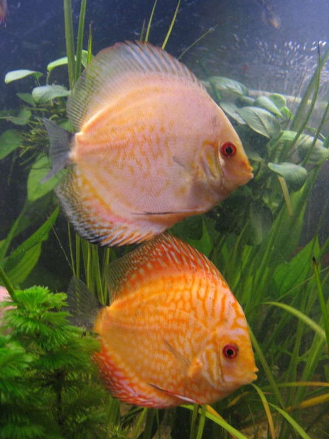 freshwater fish - symphysodon spp. - pigeon blood discus stocking in 190 gallons tank - discus3
