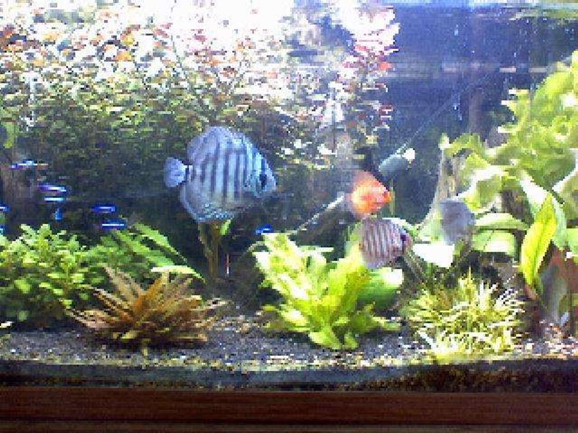 freshwater fish - symphysodon aequifasciata - royal blue discus stocking in 60 gallons tank - all 4 of my discus and some of my cardinals