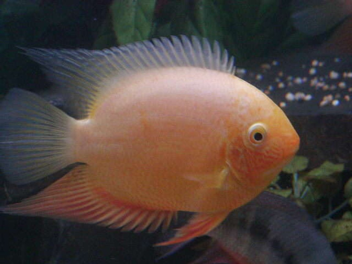 freshwater fish - heros serverus - gold severum stocking in 740 gallons tank - One of my gold severums