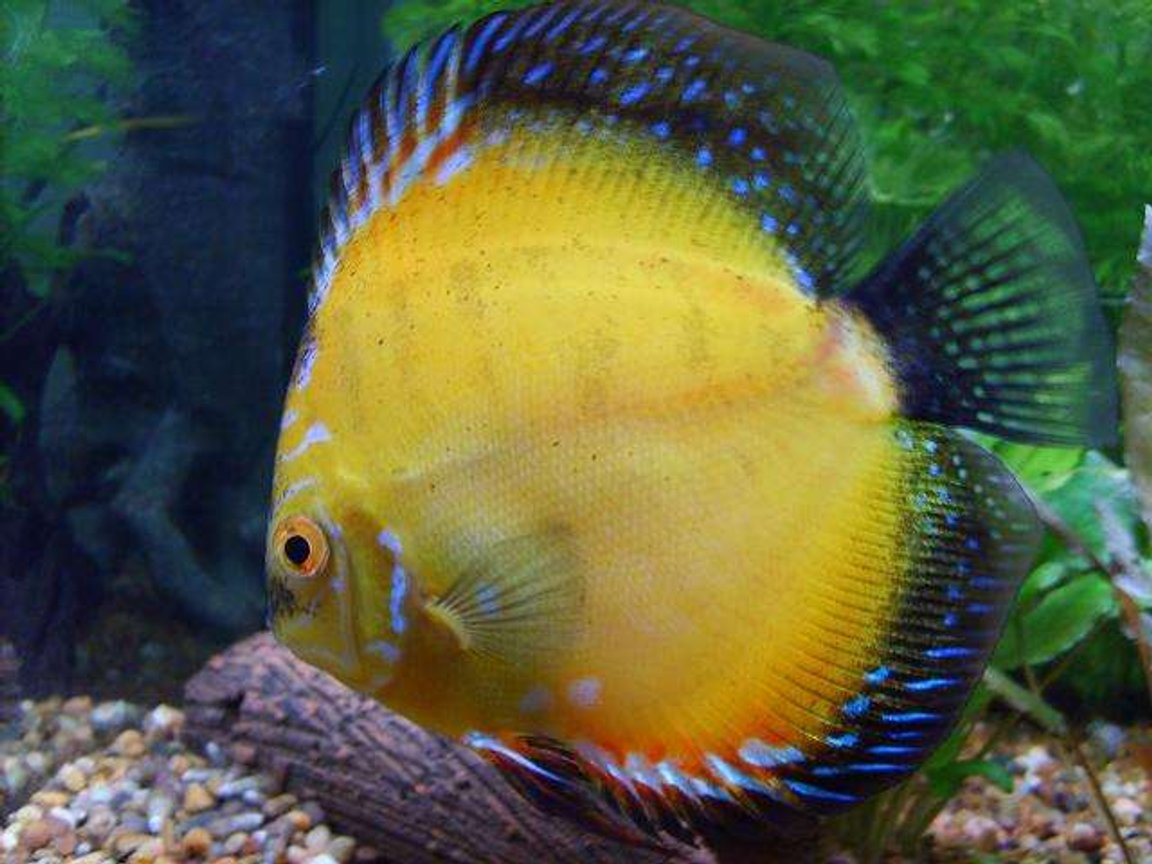 freshwater fish - symphysodon sp. - yellow marlboro discus stocking in 50 gallons tank - My pride and joy!