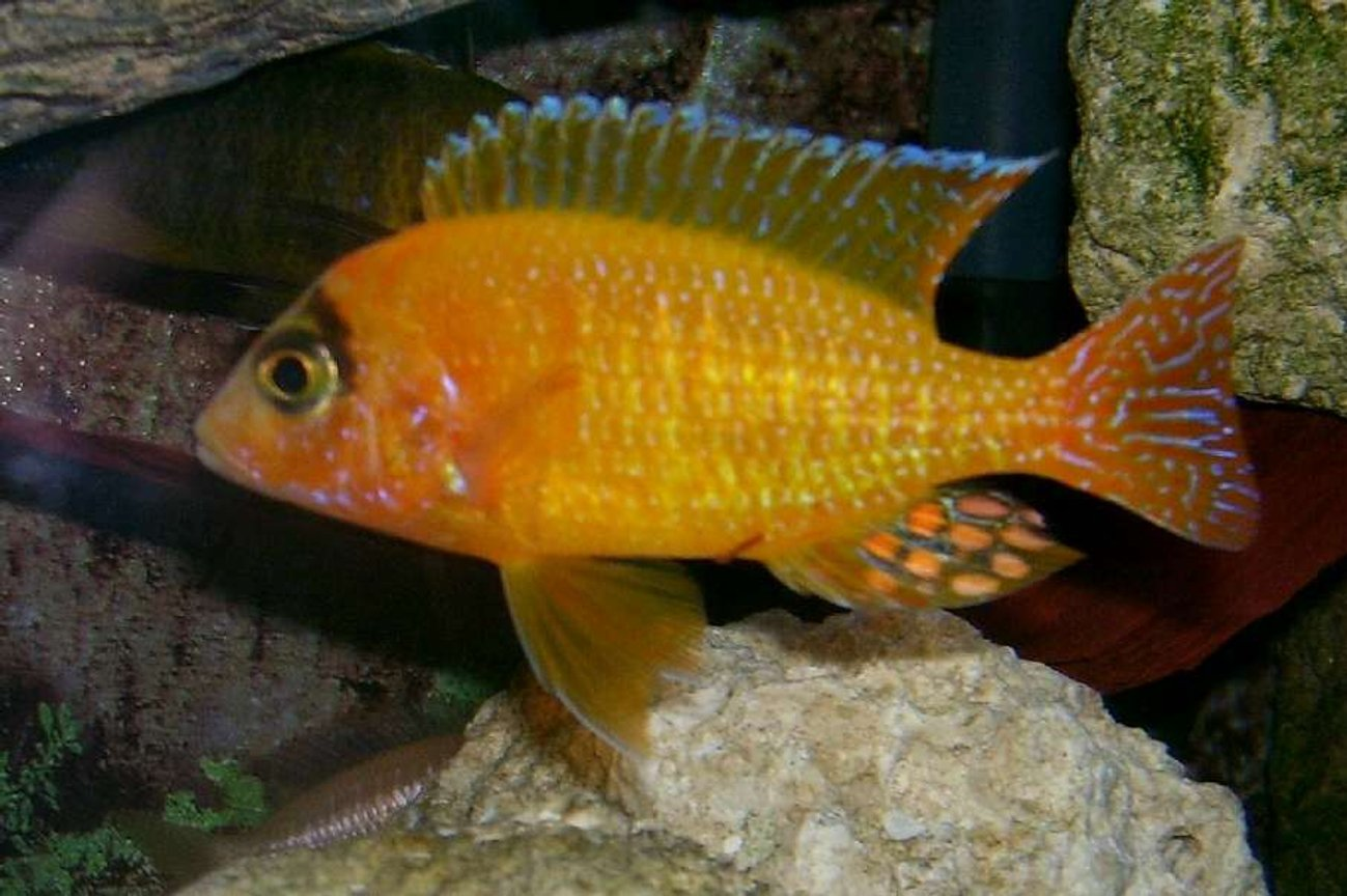 freshwater fish - aulonocara sp. - dragon blood peacock stocking in 95 gallons tank - Golden Peacock or Straberry Peacock. Many names for the same fish, He is a man made breed of African Cichlid. His name is Chambers and he is a proud father of many young fry,