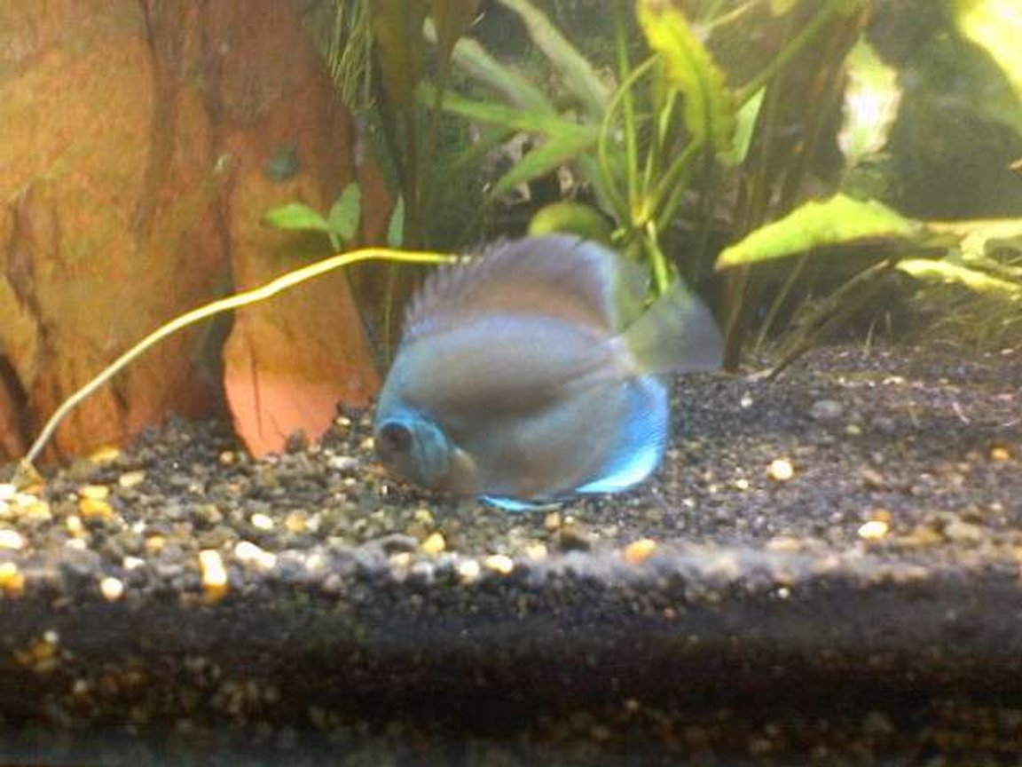 freshwater fish - symphysodon sp. - blue diamond discus stocking in 60 gallons tank - my new blue discus