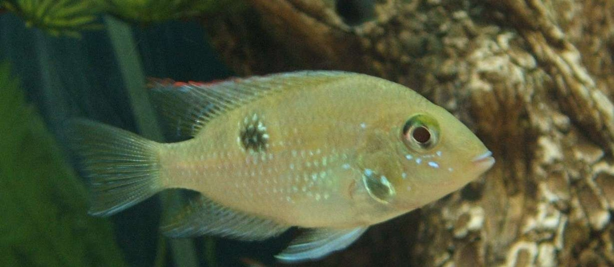 freshwater fish - thorichthys meeki - firemouth cichlid stocking in 75 gallons tank - Firemouth Cichlid