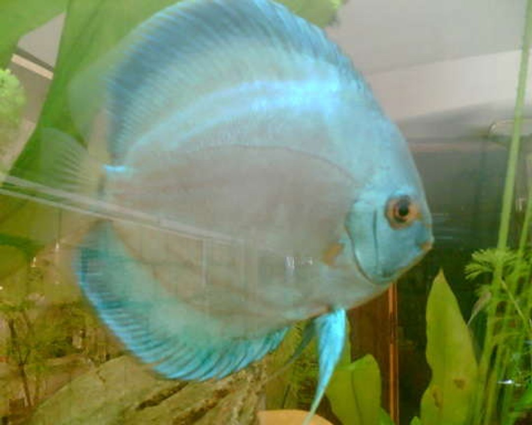 freshwater fish - symphysodon sp. - blue diamond discus stocking in 120 gallons tank - Blue Diamond Male