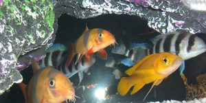 Orange Leleupi  Clown Loach