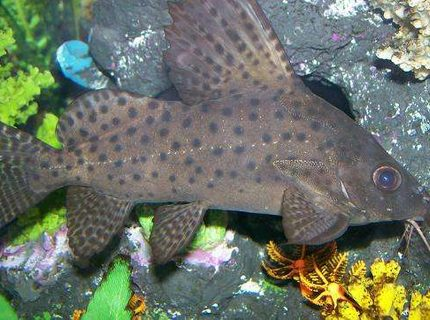 Synodontis Eupterus | www.pixshark.com - Images Galleries ...