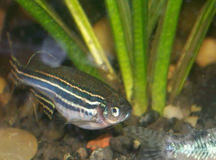 freshwater fish - danio rerio - zebra danio stocking in 30 gallons tank - zebra danio maybe pregnant