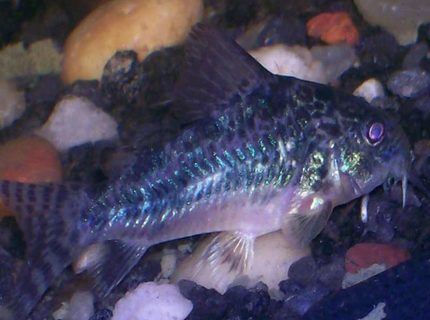 freshwater fish - corydoras paleatus - peppered cory cat stocking in 30 gallons tank - peppered cory