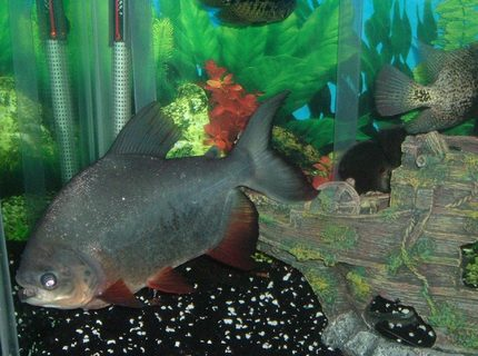 freshwater fish - piaractus brachypomum - red belly pacu stocking in 140 gallons tank - red belly pacu