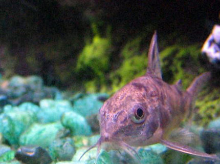 freshwater fish - corydoras paleatus - peppered cory cat stocking in 10 gallons tank - Peppered Corydora Catfish