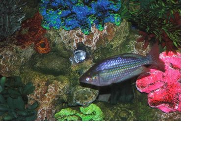 freshwater fish - melanotaenia praecox - praecox rainbow stocking in 110 gallons tank - rainbow fish