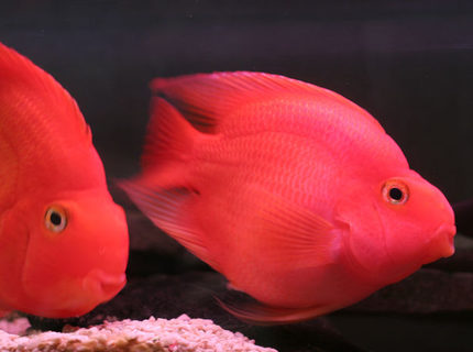 freshwater fish - heros severus x amphilophus citrinellum - blood parrot stocking in 75 gallons tank - pOOyan's parrots