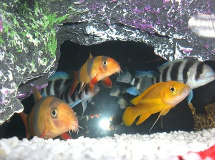 freshwater fish - botia macracantha - clown loach stocking in 23 gallons tank - Orange Leleupi & Clown Loach