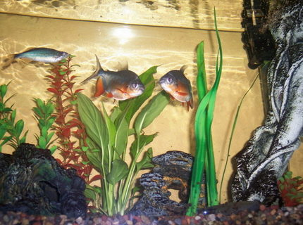freshwater fish - piaractus brachypomum - red belly pacu stocking in 55 gallons tank - Here are my two Red Bellied Pacus.