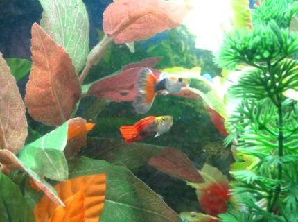 freshwater fish - poecilia reticulata - orange sunshine guppy stocking in 10 gallons tank - A couple of our Guppies